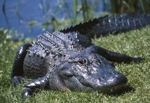 Alligator-real