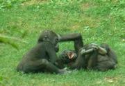 Gorillasbabies_playing