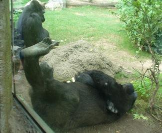 Gorillasleeping2