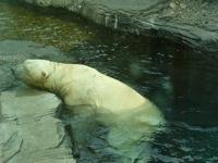 Polarswimming