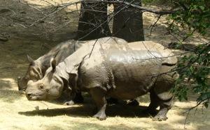 Rhinos_2